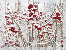Red flowers covered in snow